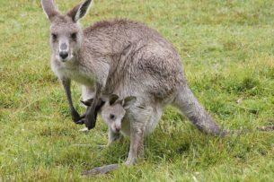 В Австралии полицейский спас тонувшего кенгуру