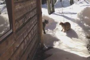 Кошка не испугалась рыси, обнаружив её на своей территории