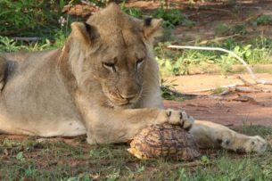 Окруженный крокодил отбивается от пятерых львиц: видео