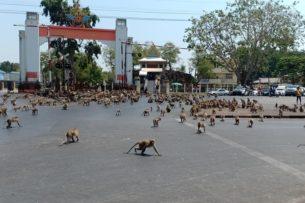 Город в Таиланде захватили обезьяны