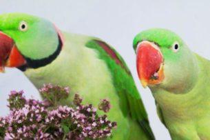 Попугаи пристрастились к опиуму и сеют хаос. В Индии и Австралии замечены попугаи-наркоманы
