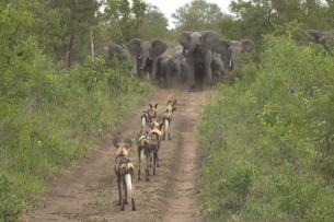 Как слоны защищают детенышей: видео