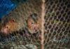 Бамбуковых крыс, популярных в Китае, считают возможными переносчиками коронавируса