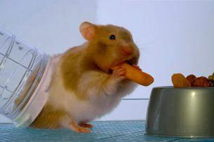 Сколько еды хомяк может унести за щеками: видео
