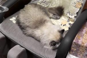 Подаренного Путиным кота отправили на карантин из-за коронавируса
