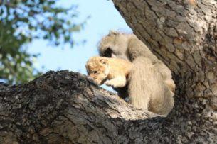 Зачем бабуины воруют львят
