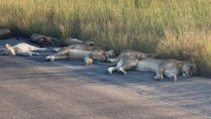 Это произошло в национальном парке Крюгер в Южноафриканской республике, где львы решили вздремнуть на некогда оживленной дороге.