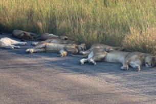 Львы заснули прямо на дороге. Они поняли, что людей на ней больше нет