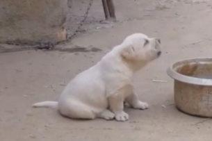 Щенок попытался воссоздать петушиное пение (видео)