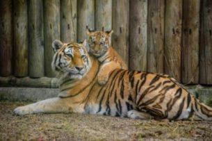 В зоопарках Нью-Йорка заразились коронавирусом семь хищников — четыре тигра и три льва