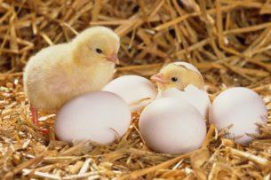 Из тысяч выброшенных на обочину яиц вылупились цыплята