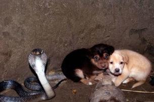 Два щенка упали в яму с королевской коброй: змея охраняла их сутки и ждала людей