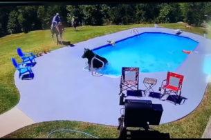 Корова в бассейне, собаки и ковбой: Видео невероятной погони