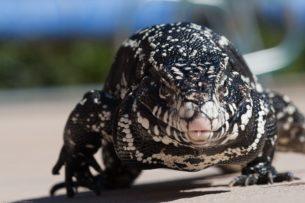 «Застрелить на месте»: в Джорджии объявили войну аргентинским ящерицам