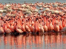 Тысячи фламинго наводнили Мумбаи, чайки в Риме охотятся на крыс: видео