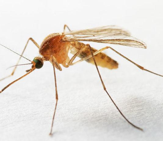 Разгадан секрет неприятного писка. Видео полета комаров в сверхскоростной съемке: