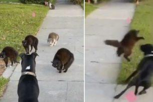 Пёс быстро пожалел, что зашёл на кошачью территорию