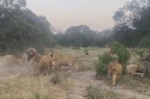 Львицы заступились за молодого самца, на которого напали старшие соплеменники
