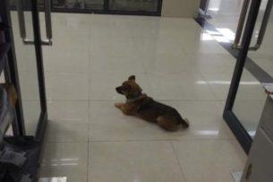 Хатико эпохи коронавируса: Пес ждет у больницы своего умершего от COVID- 19 хозяина