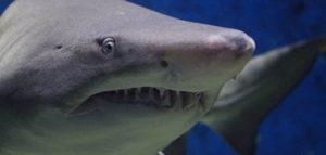 Пловец схватил акулу голыми руками и раскрыл ее пасть (Видео)