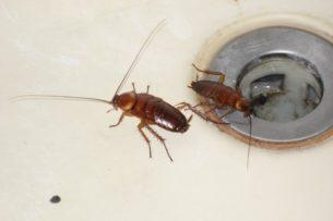 Тараканы: откуда они берутся в доме и куда уходят