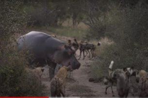 Бегемот, гиены и гиеновидные собаки соперничают за добычу: уникальное видео