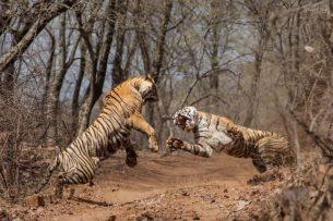 Как тигрица напала на свою мать на глазах у туриста в Индии