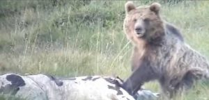 В Италии 12-летний мальчик спасся от дикого медведя. Зверь преследовал его по пятам