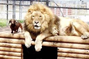 Собака дружила со львом в детстве, а потом животных разлучили: через несколько лет они встретились