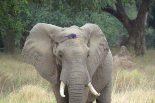 Раненный браконьером слон пришел просить людей о помощи. Что произошло дальше?