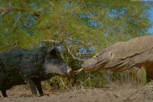Два гигантских варана растерзали робота-свинью: видео
