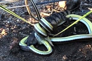 Песчаная змея против молодого варана: Видео жестокой схватки добычи и охотника