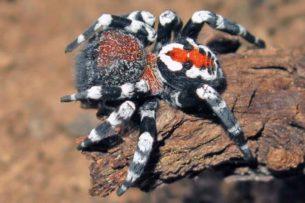 Новый вид пауков с Джокером на спине назвали в честь Хоакина Феникса
