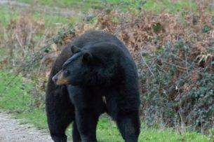 Медведь проник в дом в поисках пиццы: видео