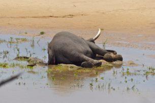 В Африке продолжают умирать слоны. Причины гибели по-прежнему неизвестны