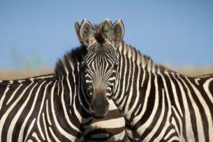 Две зебры с «одной» головой озадачили Сеть