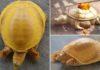 В Непале нашли золотистую черепаху. Ее сравнивают с воплощением божества Вишну