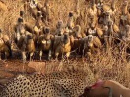 Стервятники опять отобрали добычу у гепарда, но уступили ее грифу: видео