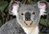 А вы думали «мимишные»? Драка между двумя коалами попала на видео