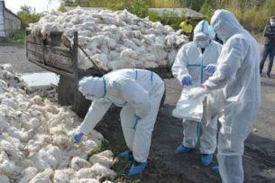 Масштаб трагедии ужасает: Птичий грипп убил 180 000 кур за сутки в Казахстане