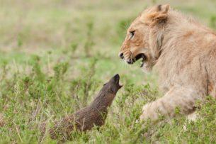 4 льва против мангуста: один в поле воин!