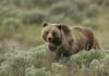 Медведь против стаи волков: видео