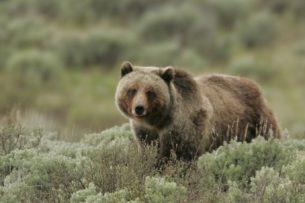 Огромная медведица «попросила» охотников убраться с дороги (видео)
