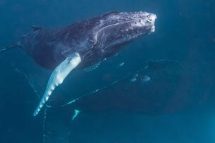 Гигантский кит врезался в лодку и чуть не проглотил туриста