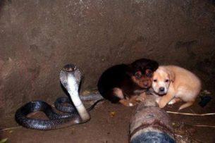 Разбор глупостей из интернета: Почему кобра спасла щенков на самом деле?