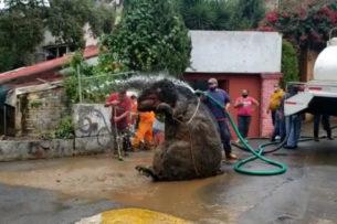 Рабочие вытащили из канализации в Мексике крысу размером с человека — видео