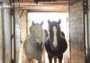 В Кыргызстан пытались незаконно завезти 1011 голов крупного рогатого скота и лошадей