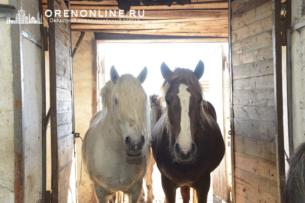 В России задержан табун лошадей, который по фальшивым документам хотели вывезти в Кыргызстан