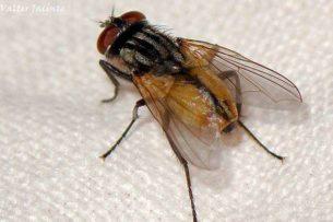 У комнатных мух есть специальные крылья, из-за которых их сложнее ударить