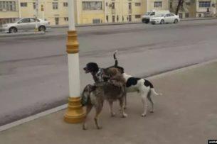 «Камеры фиксируют, а коммунальщики разбрасывают отраву»: В Ашхабаде идет «борьба» с собаками